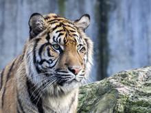 Portrait Subadult Female Sumatran Tiger Panthera T. Sumatrae