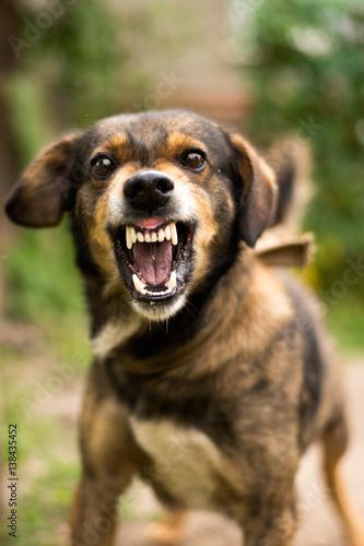 Photo  Aggressive, angry dog