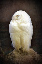 Snowy Owl Vintage