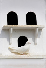 Fan-Tailed Pigeon And Historic...