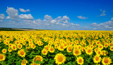 Fototapeta Flowers - field of blooming sunflowers