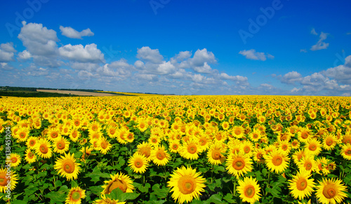 Deurstickers Zonnebloem field of blooming sunflowers