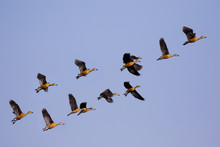 Image Flock Of Male Wild Duck ...