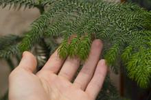 Araucaria - Home Fir-tree!