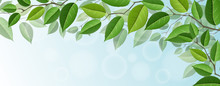 Horizontal Tree Branch Banner With Green Leaf, And Blue Sky In Background. For Horizontal Banner Or Nature Related Design