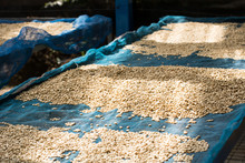 Drying Coffee Beans, Coffee Be...