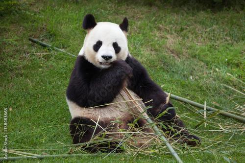 Plakat Giant panda (Ailuropoda melanoleuca).