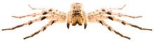 Wolf Spider Lycosa Singoriensi...