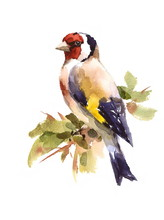 Watercolor Bird European Goldfinch Sitting On The Branch Hand Painted Illustration Isolated On White Background