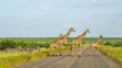 canvas print picture - Herd of wild giraffes and zebras crossing the road in Kruger national park, South Africa
