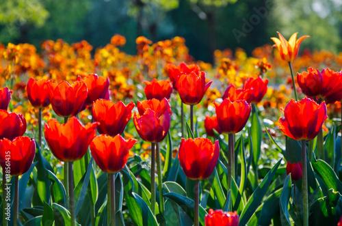 Poster Printemps Tulpen im Park