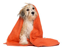 Cute Bathed Havanese Puppy Dog Wrapped In An Orange Towel