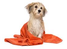 Cute Bathed Havanese Puppy Dog...