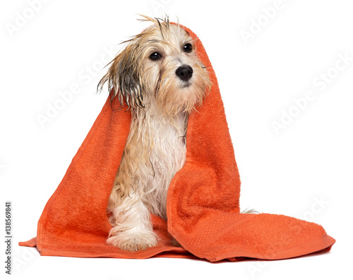 Fotografie, Obraz  Cute bathed havanese puppy dog wrapped in an orange towel