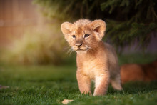 Young Lion Cub In The Wild