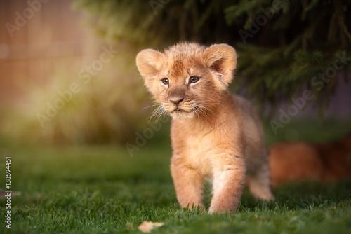 Staande foto Leeuw Young lion cub in the wild