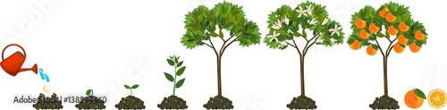 Roślina rośnie od nasion do drzewa pomarańczowego. Cykl życia