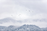 Gray flock of ducks flying over forest - 138600689