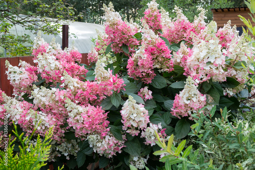 hydrangea bush with pink caps of flowers