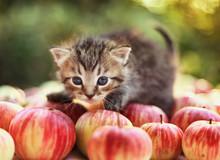 Litttle Gray Kitten On Autumn Apples