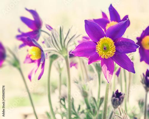 Fototapeta First spring purple flowers background obraz na płótnie