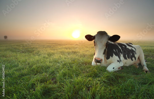 In de dag Koe relaxed cow on pasture at sunrise