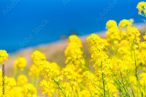 Poster Jaune Rapeseed Flowers,at The One Thousand Rice Fields,in Noto,Ishikawa,Japan