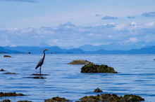 Blue Heron In Shallow Waters A...