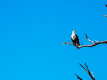 African Fish Eagle Standing On...
