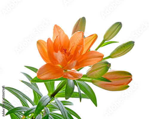 In de dag Narcis Lilly flower with buds isolated on a white background