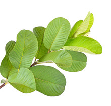 One Leaf Guava Close Up Macro Isolated On White
