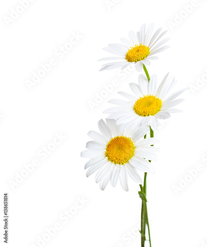 Spoed Foto op Canvas Madeliefjes Three flowers of Сhamomiles ( Ox-Eye Daisy ) isolated on a white background