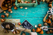 Flower Bulbs And Garden Accessories For Planting On A Wooden Background. Space For Text.
