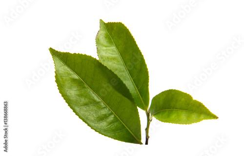 Fototapeta green tea leaf obraz na płótnie