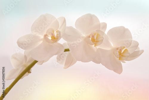 Papiers peints Orchidée orchidée matin