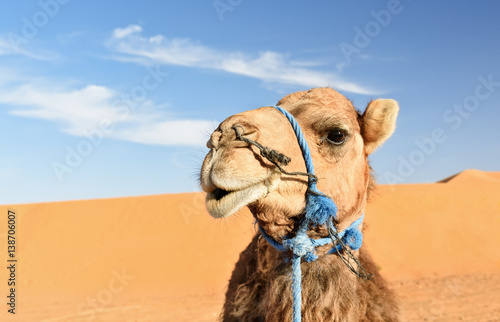Foto op Canvas Kameel Camel in Erg Chebbi Sand dunes near Merzouga, Morocco