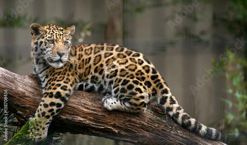 Vászonkép Jaguar
