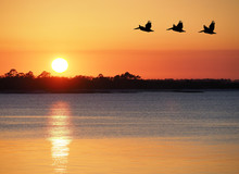 Pelicans Fly Over The Bay As T...