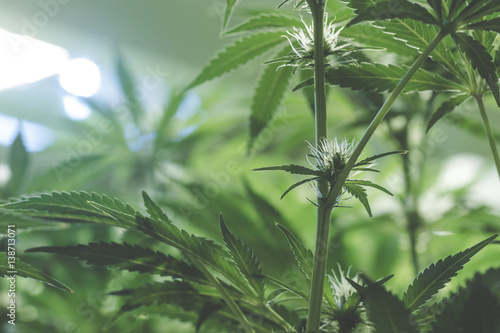 An up close view of a young indoor flowering legal medical marijuana cannabis bud Wallpaper Mural