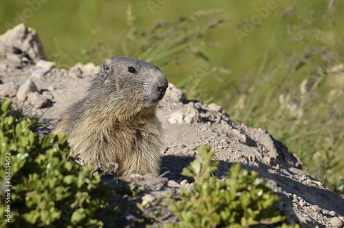 Portrait Alpine Marmot (Marmota marmota) standing before his hole in