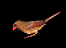 Closeup Of A Female Cardinal I...