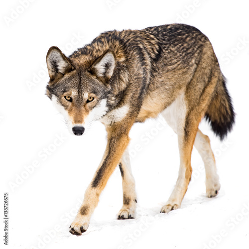 Photo sur Toile Loup Red Wolf in Snow VIII