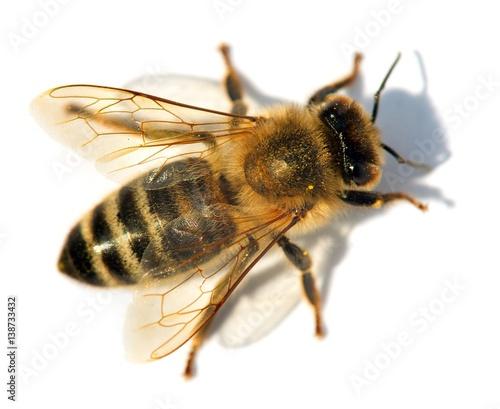 Photo detail of bee or honeybee , Apis Mellifera