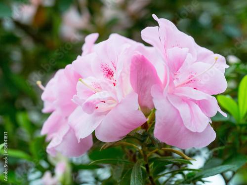 Plakat kwiatostan piękny fioletowy kwiat rododendronów, które znajdują się na końcach pędów. Azalia.
