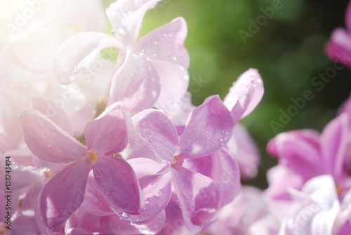 Staande foto Roze Macro shot of lilac flowers covered by dewdrops. Good for invitation and greeting card design backdrop.