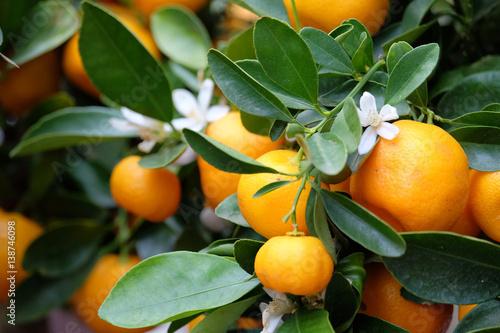 Obraz na plátně  Fruit mandarin on a branch
