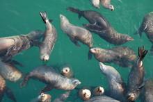 Group Of Seals In The Ocean