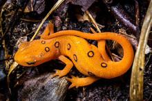 Orange Newt