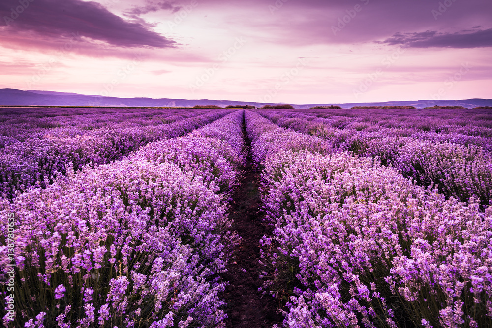 Blooming lavender field under the purple colors of the summer sunset