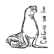California Sea Lion - Vector Illustration Sketch Hand Drawn With Black Lines, Isolated On White Background